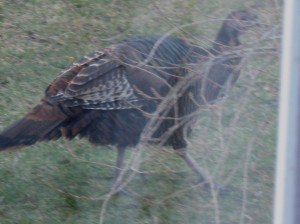 The Christmas Turkey struts about the yard.